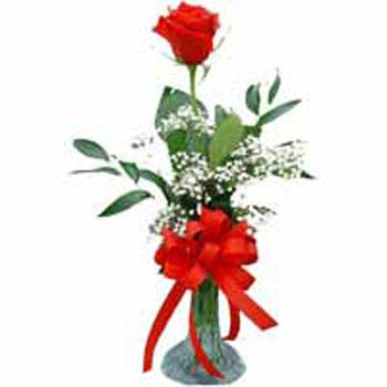 Single Rose Fascination