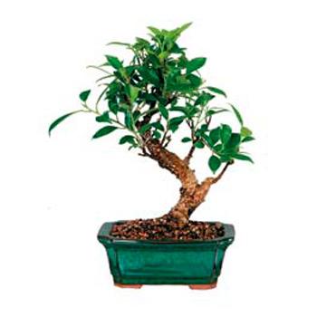 Bonsay Tree